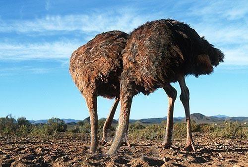 ostriches-head-in-sand